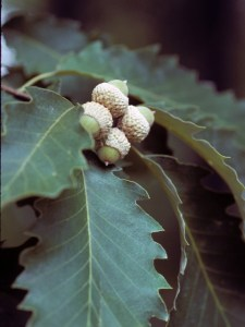 chinquapin oak leaves - acorns