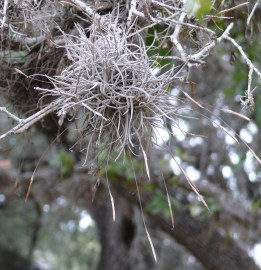 ball moss with seed-pod stalks