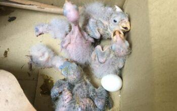 Medio Ambiente recupera seis crías de pericos y dos huevos en la UASD