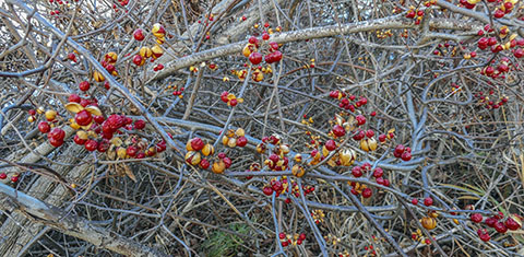 Berries on nature trail outside Hamilton ON