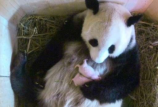 WORLD panda
