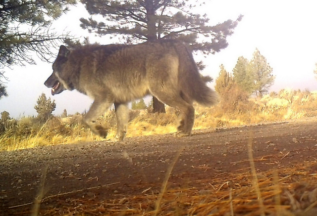 Oregon Wolf Population Into Triple Digits