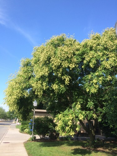 "Like so many ""fall hazard"" tree species, goldenraintree (Koelreuteria paniculata) is more likely to succeed when transplanted at a smaller caliper size. Photo by Michelle Sutton"