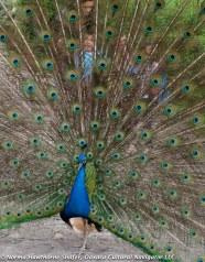Peacocks-13