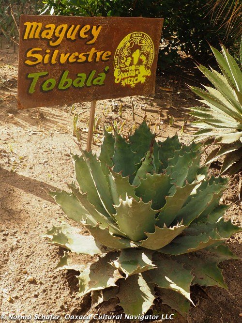 Tobala, another wild agave cactus, yields a distinctive herby aroma and taste.