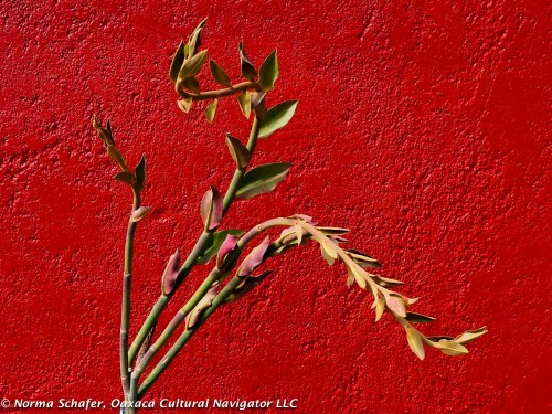 Oaxaca Red casita color. With Gar Bii Dauu. Local endangered succulent.