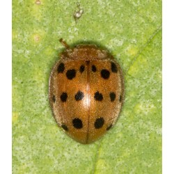 Small Crop Of Mexican Bean Beetle