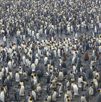 King Penguin colony Salisbury Plain Island of South Georgia