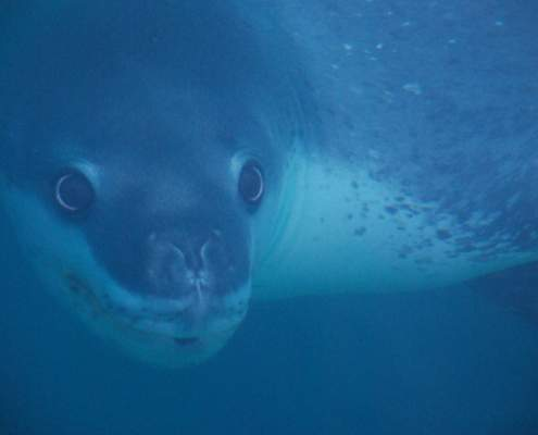 Leopard seal in Antarctica