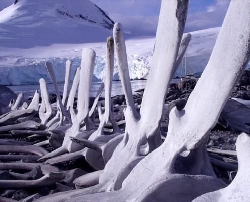 Australis anchored in Antarctica behind whale bones