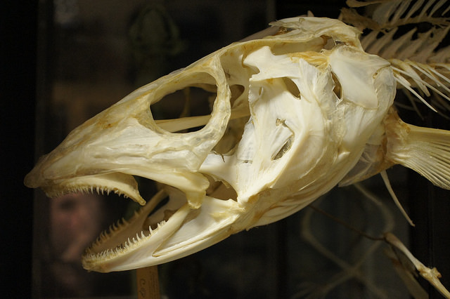 Written in bone what ancient pacific cod can tell us for Cod fish mercury