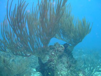 Sea Whip—a soft coral. Author: Johnmartindavies. Source: Wikimedia Commons https://commons.wikimedia.org/wiki/File:Sea_Whip_on_the_Fathom.JPG