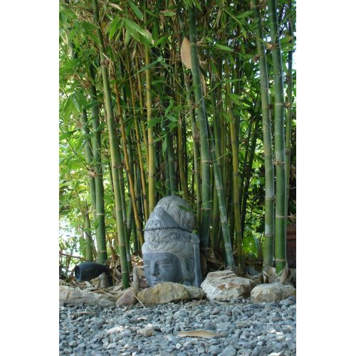 Medium Crop Of Buddha Belly Bamboo