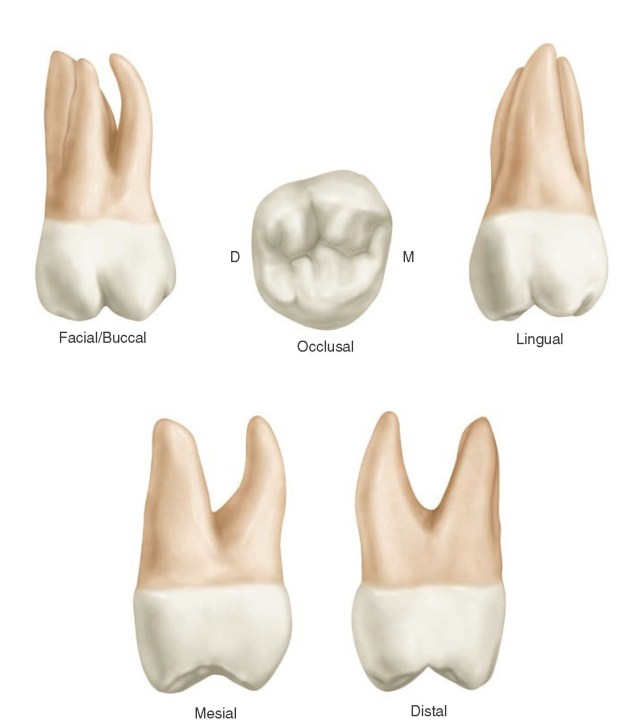 maxillary second molar