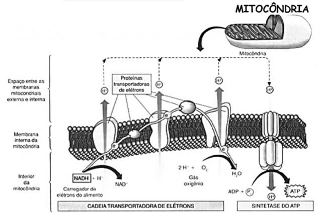 bioenergetica4