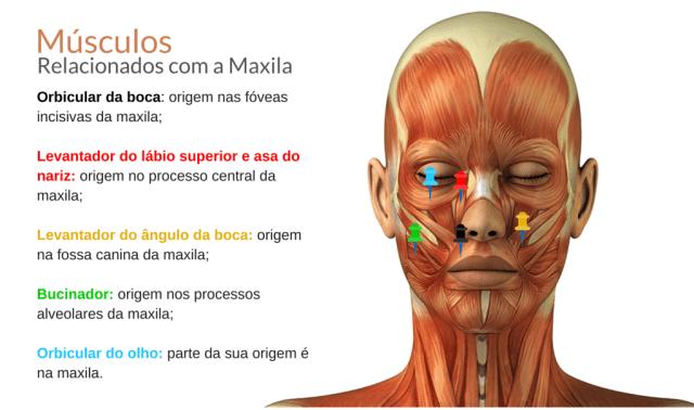 musculos relacionados maxila