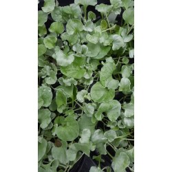 Small Crop Of Dichondra Silver Falls
