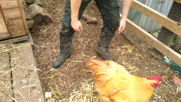 rounding up chickens at Stepney City Farm