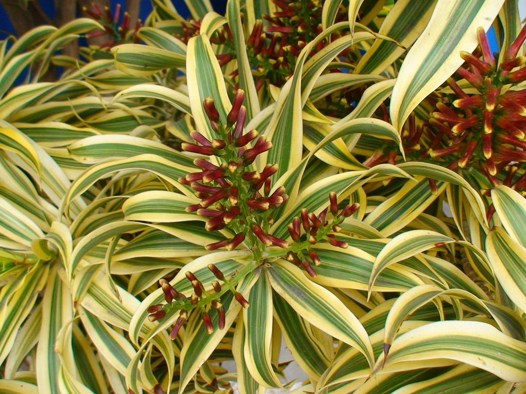 Groovy India Plant Images India Plant Dying Song Botanical Song India Dracaena Reflexa Office Plants Song houzz-02 Song Of India Plant