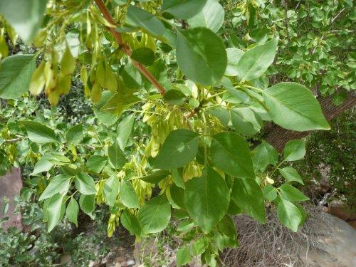Medium Of Ash Tree Seeds