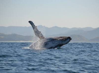 Playful humpback whale