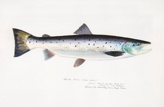 James Prosek (Atlantic Salmon)
