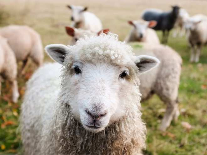 """Bedding made from wool may be a """"natural"""" choice, but that doesn't mean sheep don't suffer during the collection process. Choose vegan bedding instead!"""