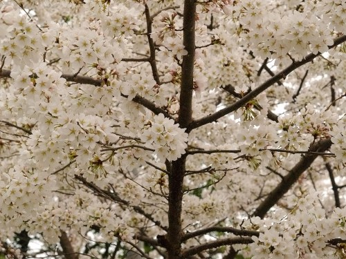 DC Cherry Blossoms10 500x375 {today I love...}