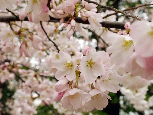 DC Cherry Blossoms13 500x375 {today I love...}