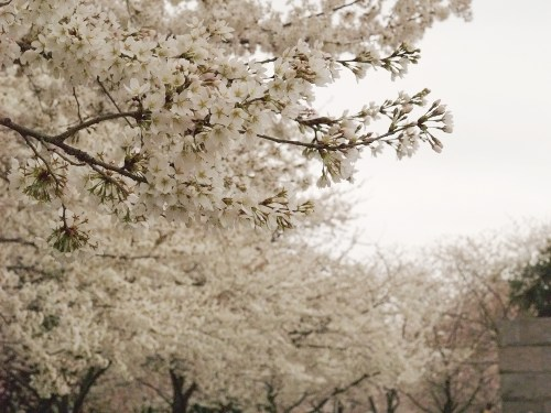 DC Cherry Blossoms9 500x375 {today I love...}