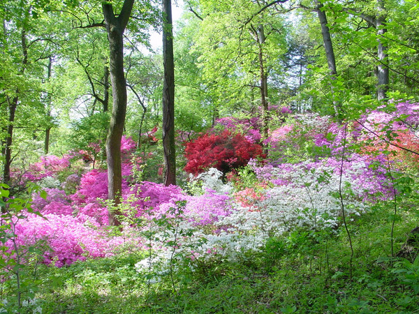 National Arboretum Azaleas DC Guide: What To Do