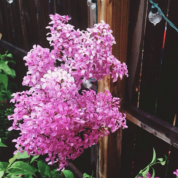 OSBP At Home Garden Update Lilacs Instagram OSBP At Home: Garden Update