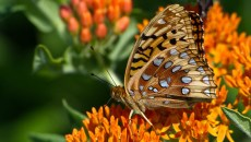 The OKC zoo and The Nature Conservancy are working together to preserve Oklahoma habitats and wildlife, including butterflies. | Photo Bill Adams / The Nature Conservancy / provided