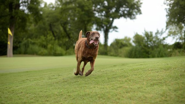 Scout runs the Firelake Golf Course in Shawnee, Monday, July 31, 2017.  (Garett Fisbeck)