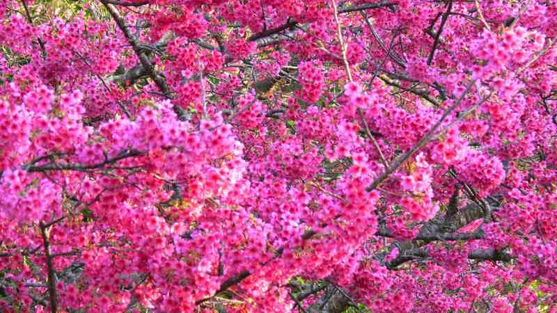 本部八重岳 桜まつり2014