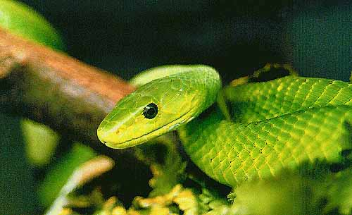 The Green Mamba