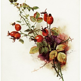 Vintage Tuck's Wild Berries Post Card