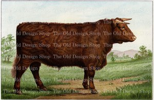vintage cow clipart, vintage bull image, mrs beeton prize shorthorn, old farm cattle graphics, printable animal illustration