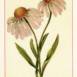 Free Vintage Image ~ Purple Corn-Flower