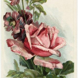 Free Vintage Image ~ Pretty Pink Rose Postcard