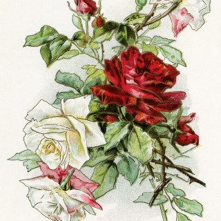 Free Vintage Floral Image ~ White and Red Roses