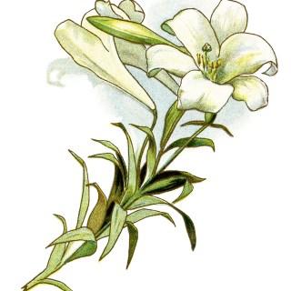 White Lily ~ Free Vintage Image