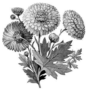 vintage flower clipart, early flowering chrysanthemum, chrysanthemum illustration, black and white clipart, vintage garden printable