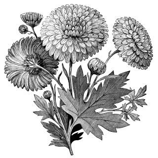 Early Flowering Chrysanthemum ~ Free Vintage Clip Art