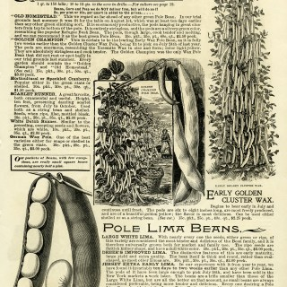 Climbing and Pole Beans Catalogue Page and Clip Art ~ Free Vintage Images