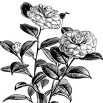 Japanese Rose Flowering Branch ~ Free Clip Art