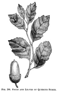 acorn and leaves illustration, vintage botanical clipart, black and white clip art free, quercus suber fruit and leaves, cork oak leaf acorn engraving