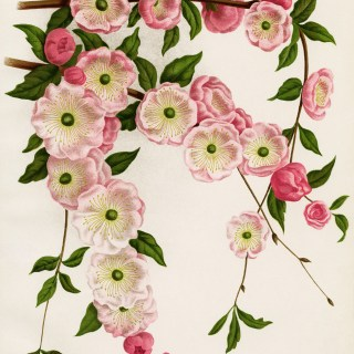Flowering Almond ~ Free Vintage Image