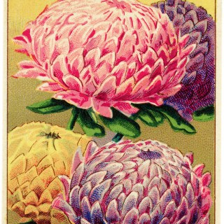 Peony French Seed Label ~ Free Vintage Image
