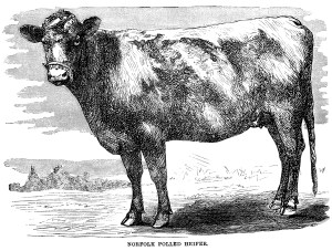 black and white clip art, vintage cow clipart, farm animal illustration, cow engraving, norfolk polled heifer